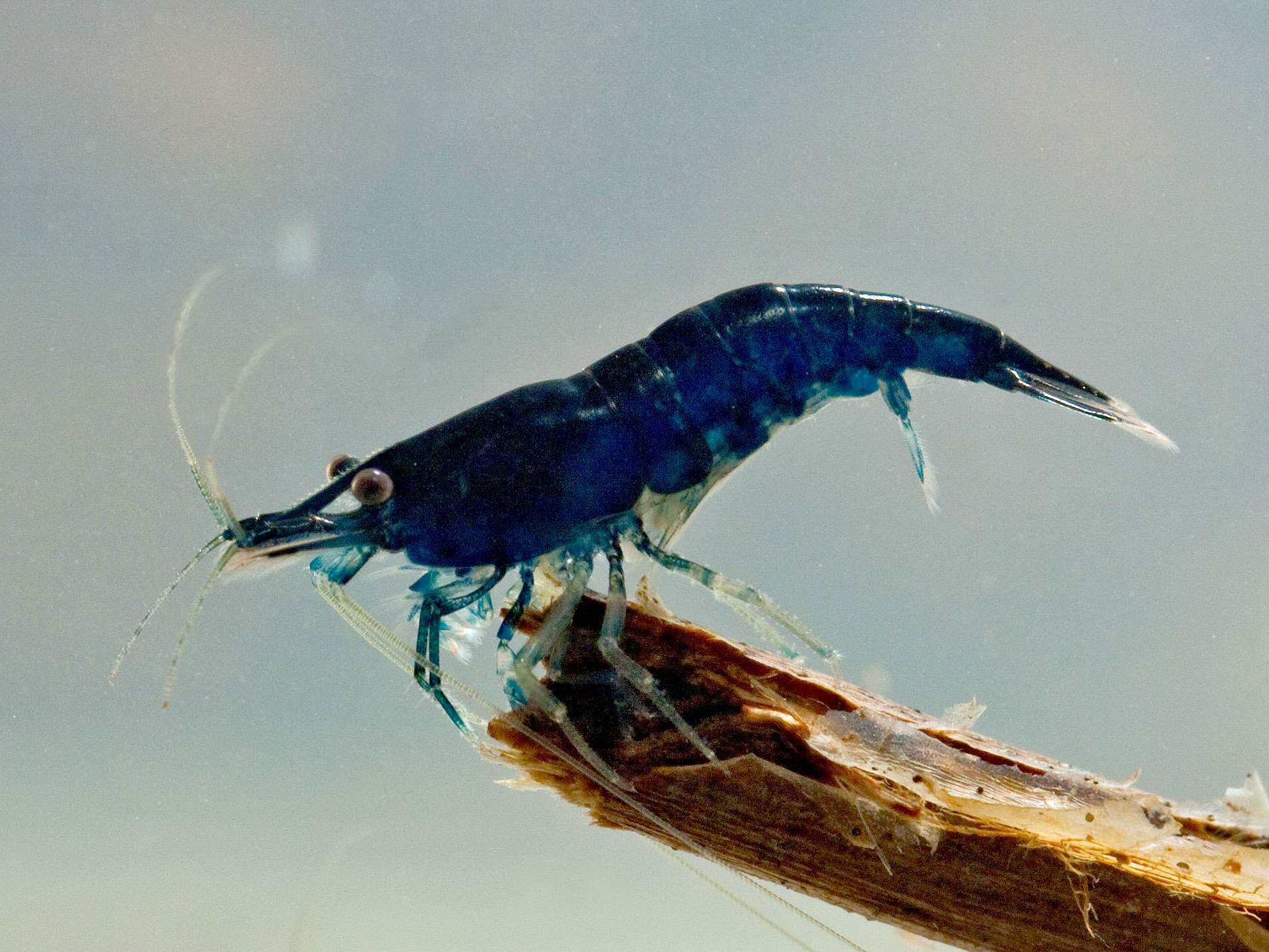 neu blue sapphire neocaridina davidi neues im garnelenhaus der wirbellotse. Black Bedroom Furniture Sets. Home Design Ideas