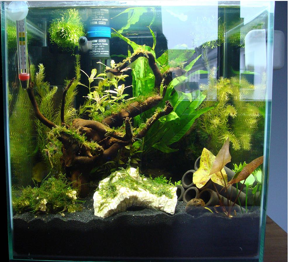 Aquarium Mit Pflanzen Ohne Wasser: Anubias Pflanzen Im Aquarium ... Probleme Mit Den Pflanzen