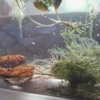 Glanzwürmer Zucht