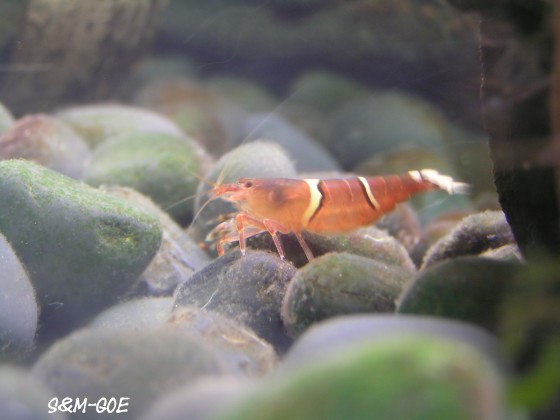 Australatya obscura, Weibchen