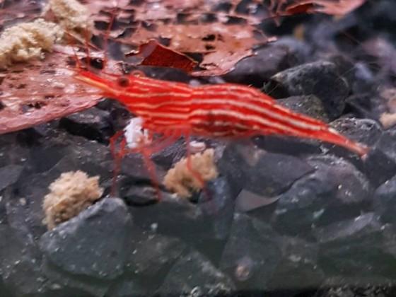 Red-Line-Garnele - Caridina striata
