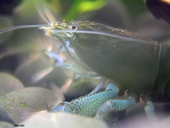 Atya gabonensis, Weibchen