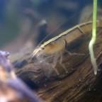 Australatya obscura, tragendes Weibchen