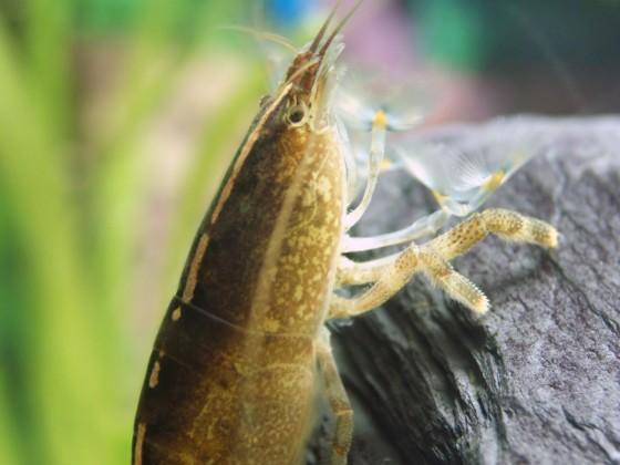 Atya scabra, Weibchen
