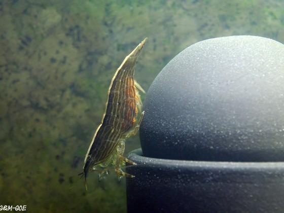 Atyopsis spinipes, tragendes Weibchen