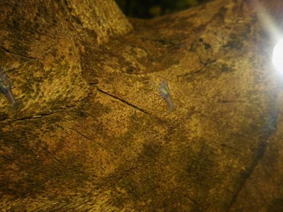 Baby-Krebse Procambarus alleni